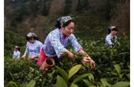 你知道天之红祁门红茶,为什么那么受欢迎吗?
